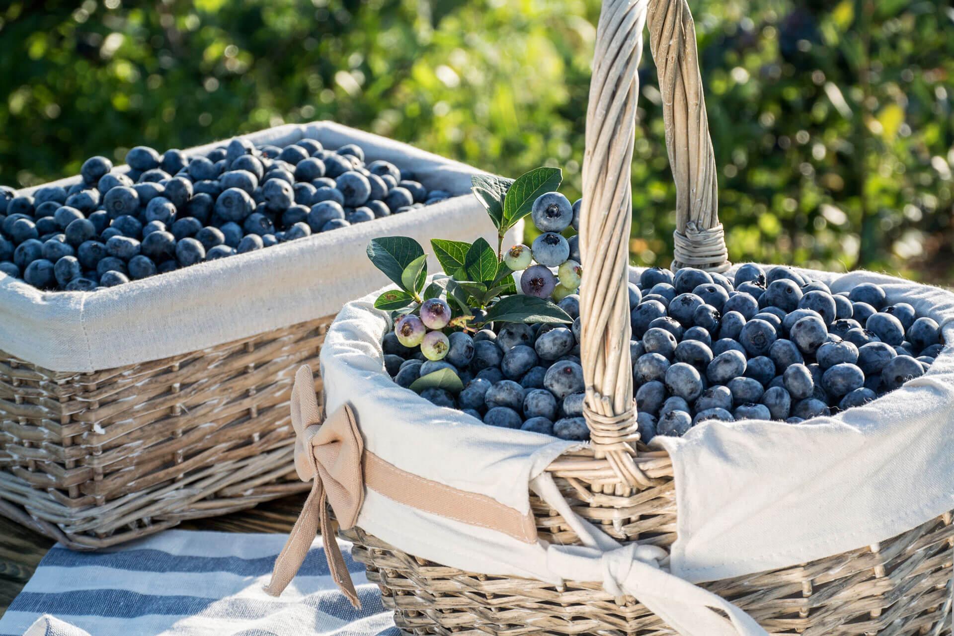 Ягоди лохини (чорниці садової) | Еко Карпати