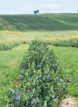 Ягоди чорниці садової   Еко Карпати