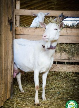 Зааненська коза   Еко Карпати