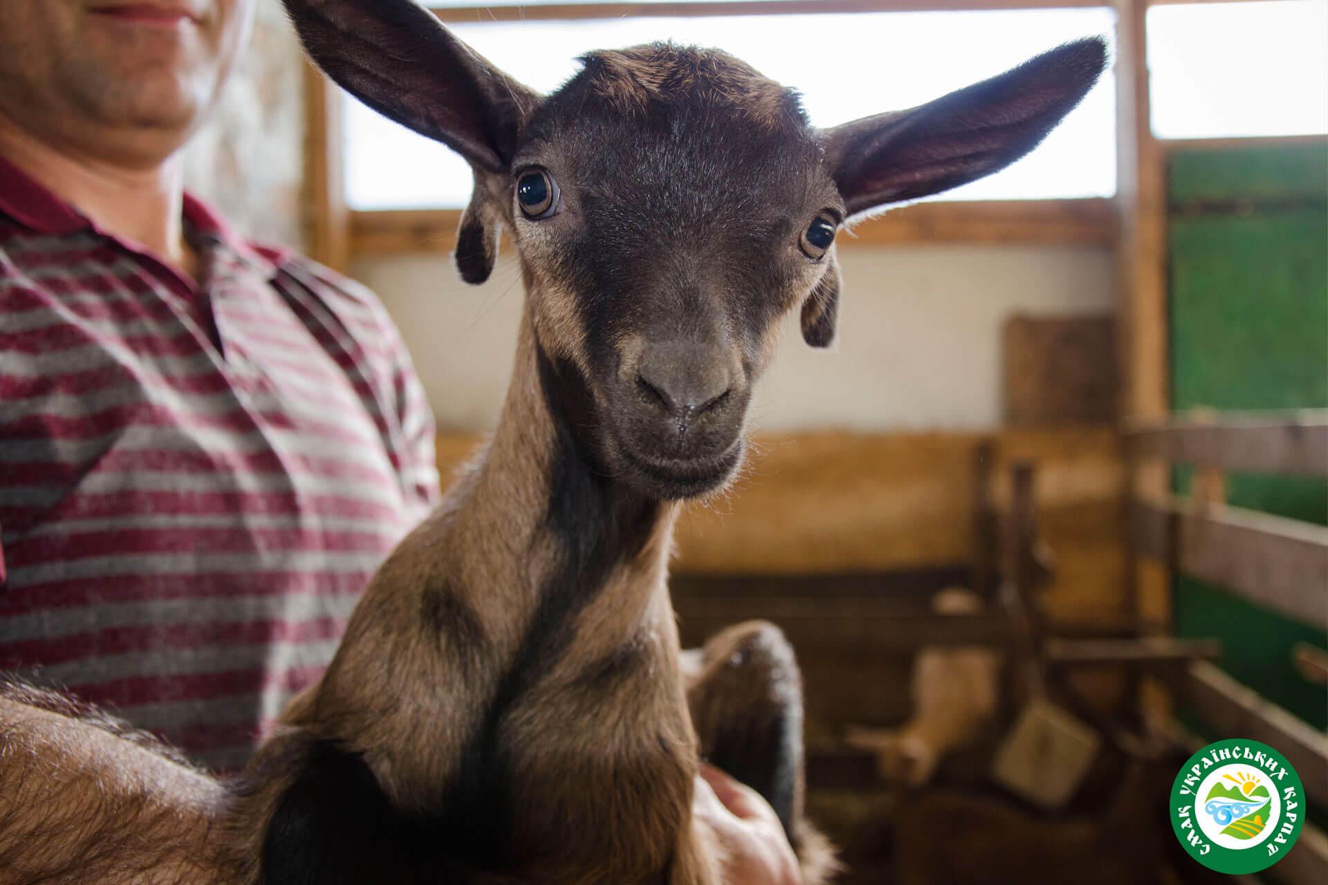 Альпійські козенята | Еко Карпати