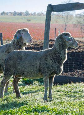 Вівці мериноси | Еко Карпати