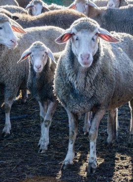 Вівці та ягната німецькі мериноси   Еко Карпати