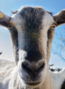 Кози та козенята   Еко Карпати