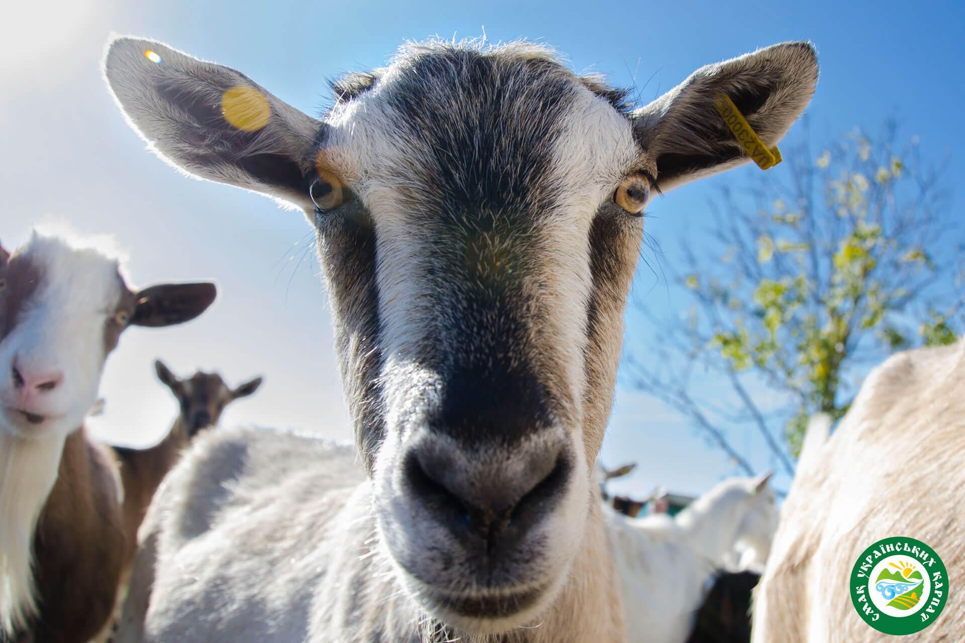 Кози та козенята | Еко Карпати