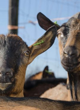 Кози та козенята альпійської породи   Еко Карпати