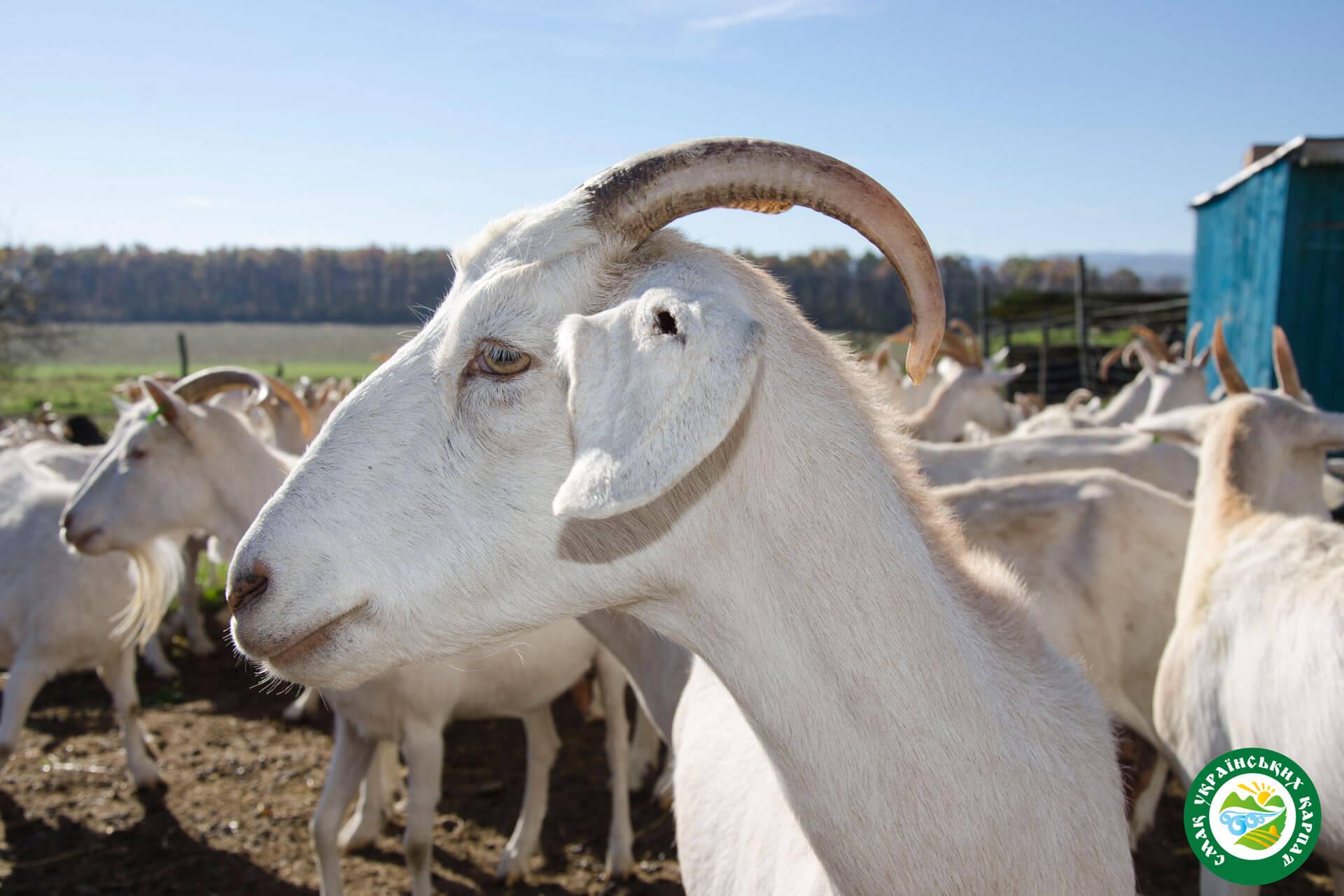 Кози зааненської породи | Еко Карпати