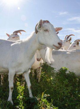 Кози зааненської породи   Еко Карпати