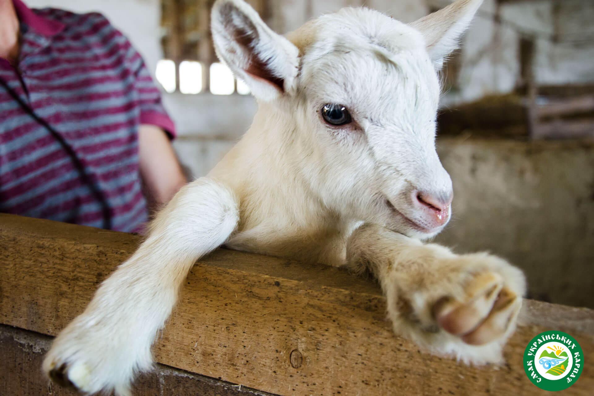 Зааненські козенята | Еко Карпати