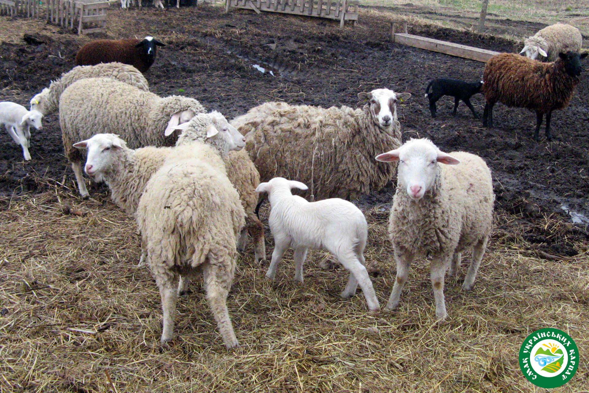 Вівці та ягната мериноси | Еко Карпати