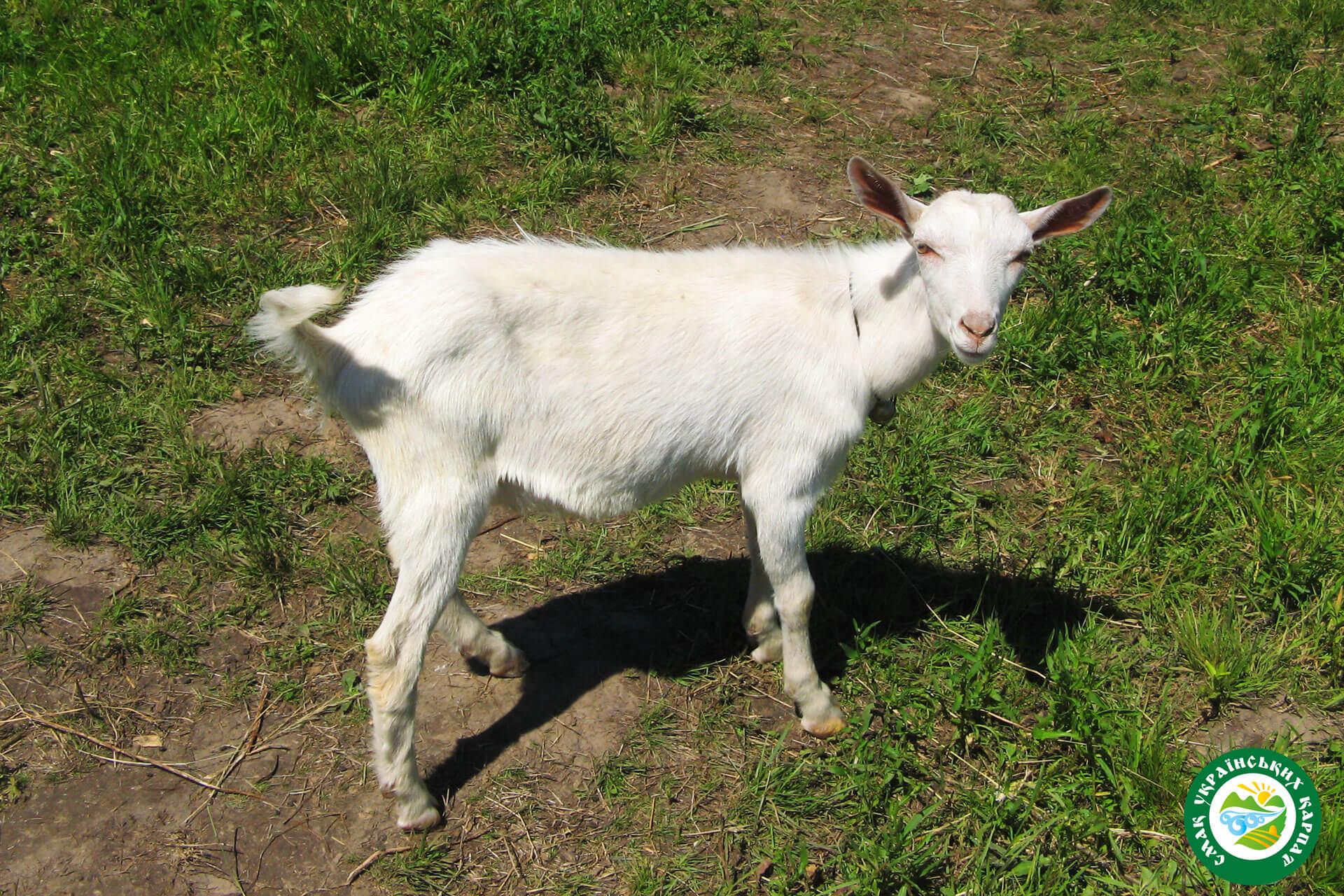 Зааненська коза | Еко Карпати